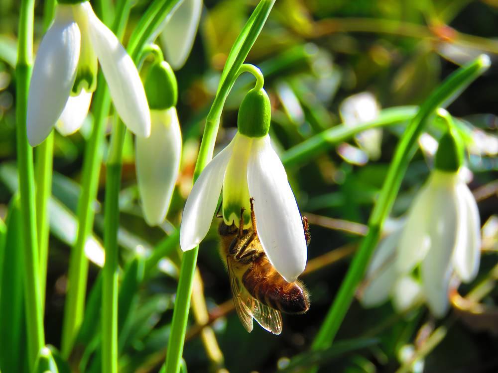 sneeuwklokjes bijen