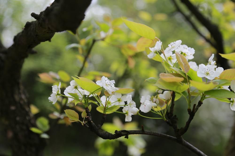 Pruimenboom bloeit niet