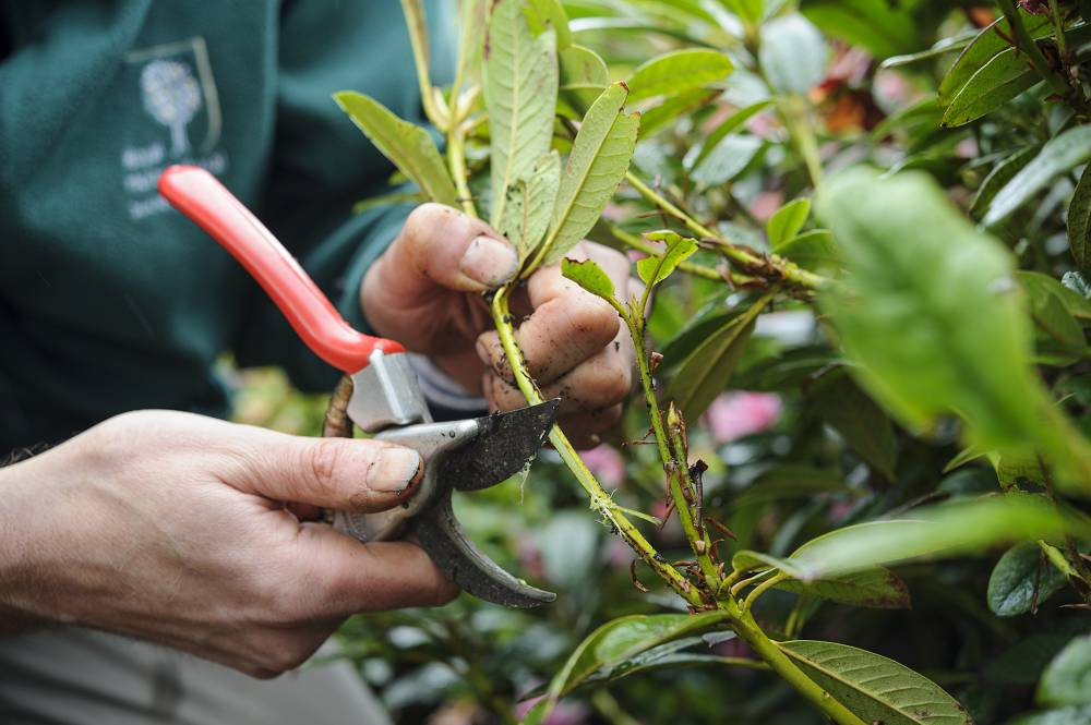 rhododendron vermenigvuldigen