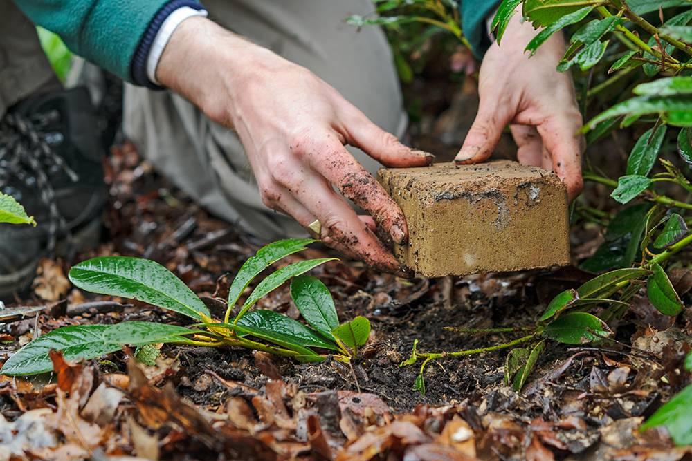 rhododendron planten