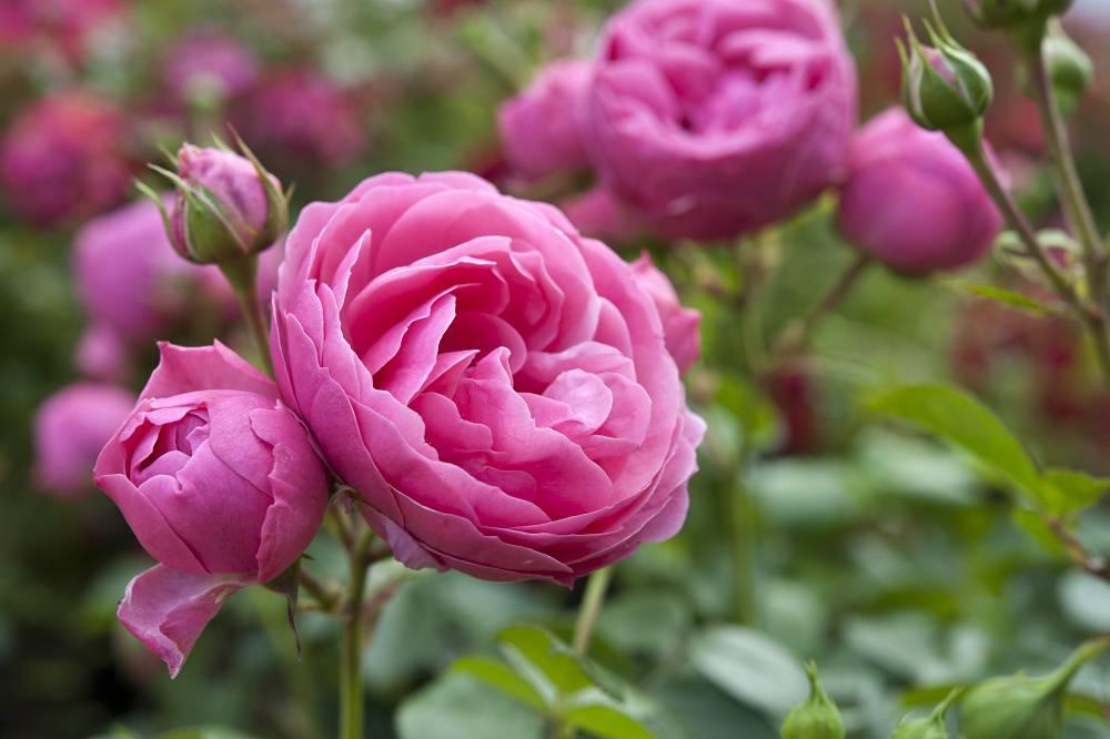rozen water geven