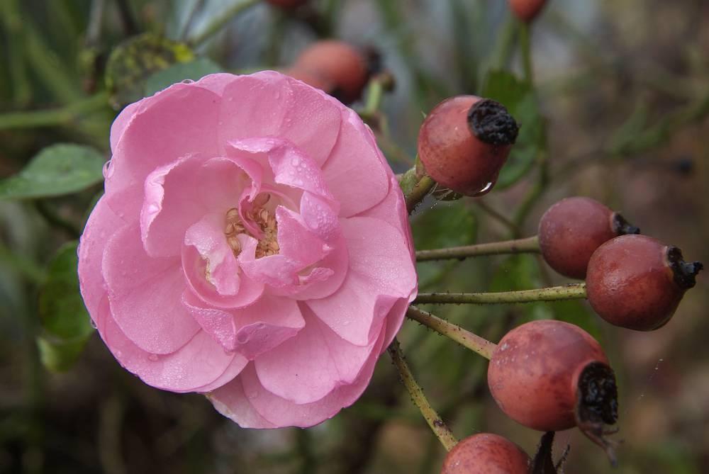 checklist voor de tuin week 25: rozenbottels laten zitten