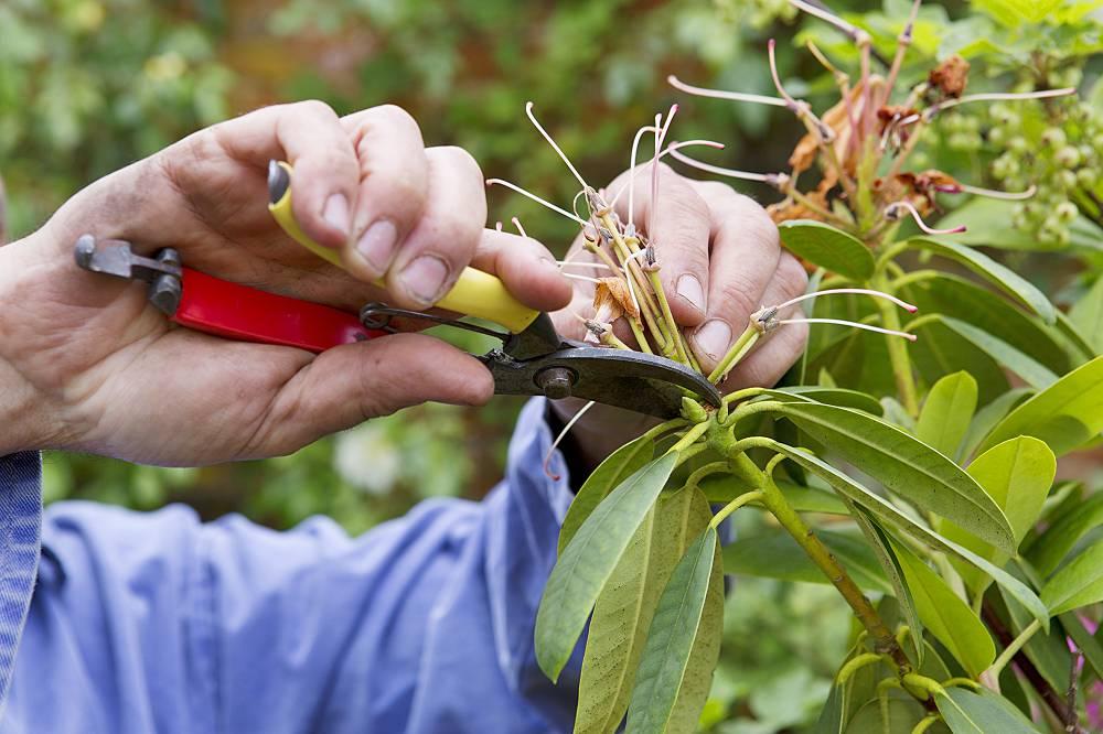 rhododendron snoeien in juli
