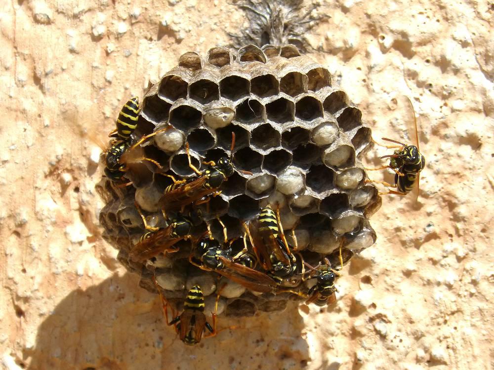 wespennest laten zitten