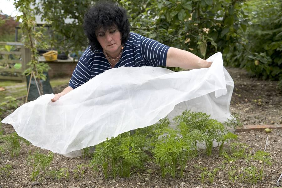 wortelvlieg voorkomen