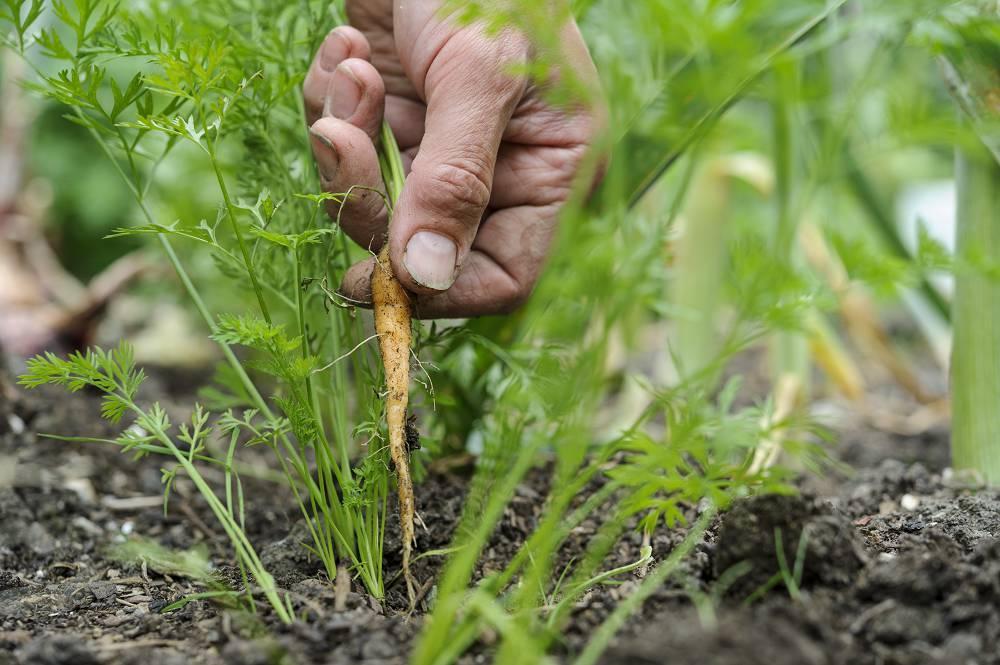 wortels uitdunnen