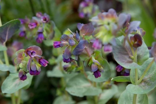 bloemen voor bestuivers Cerinthe