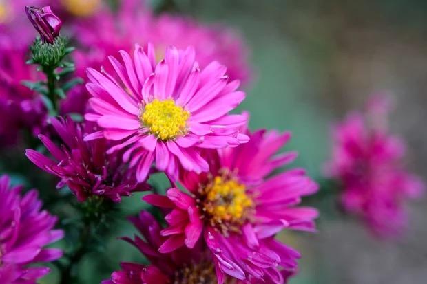 bloemen voor bestuivers aster amellus