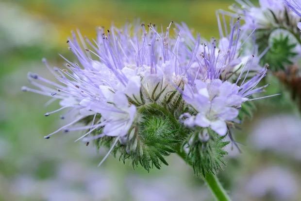 bloemen voor bestuivers phacelia
