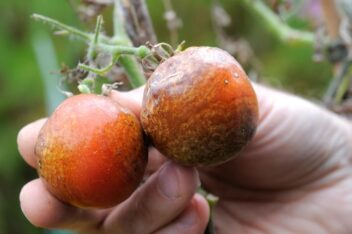 Afbeelding voor Aardappelziekte bij tomaten bestrijden