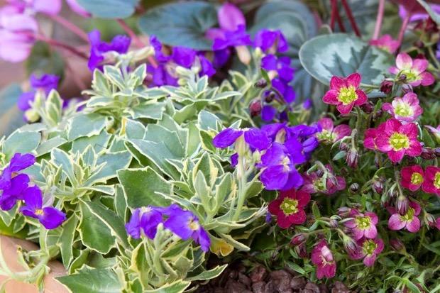 bloemen voor bestuivers aubrieta