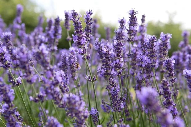 bloemen voor bestuivers lavendel