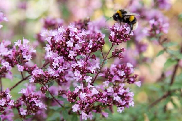 bloemen voor bestuivers marjoram