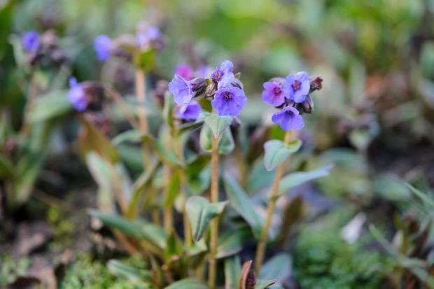 bloemen voor bestuivers pulmonaria