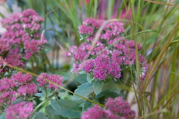 bloemen voor bestuivers sedum