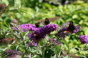 beste vlinderstruik voor vlinders