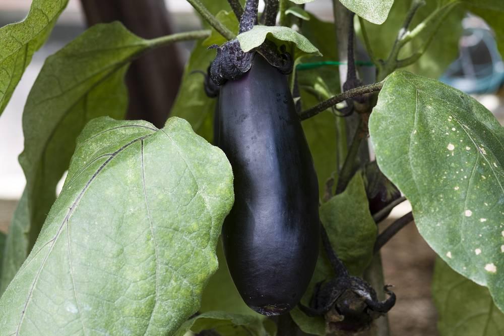 aubergine wanneer oogsten