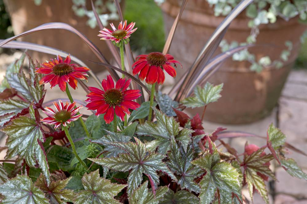 Echinacea purpurea Sombrero Salsa Red