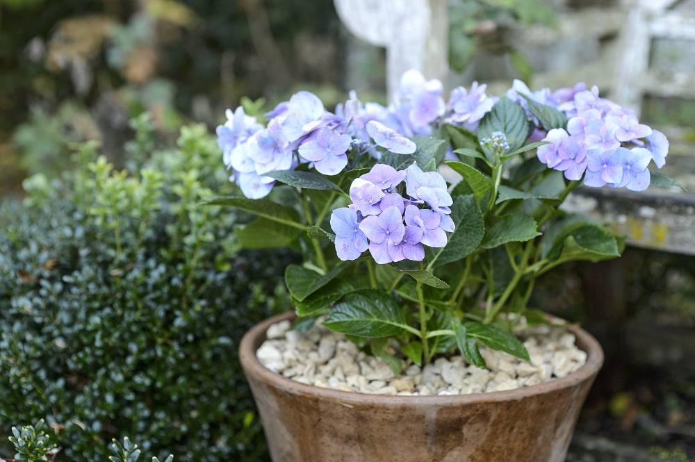 hortensia in pot