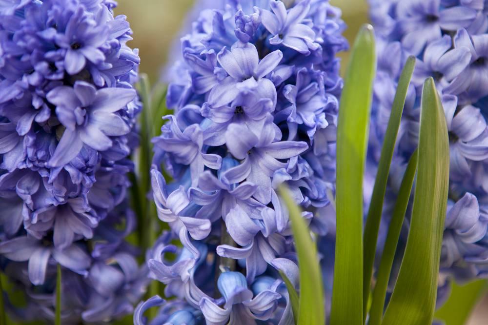 hyacinten planten wanneer
