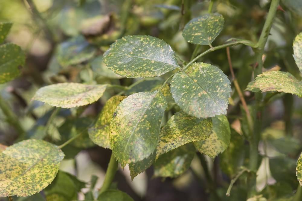rozen ziektes en plagen
