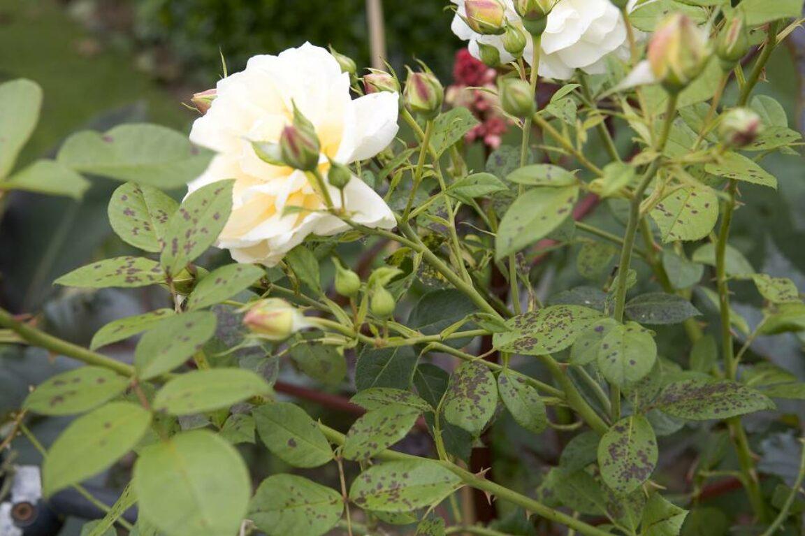 rozen ziekten en plagen
