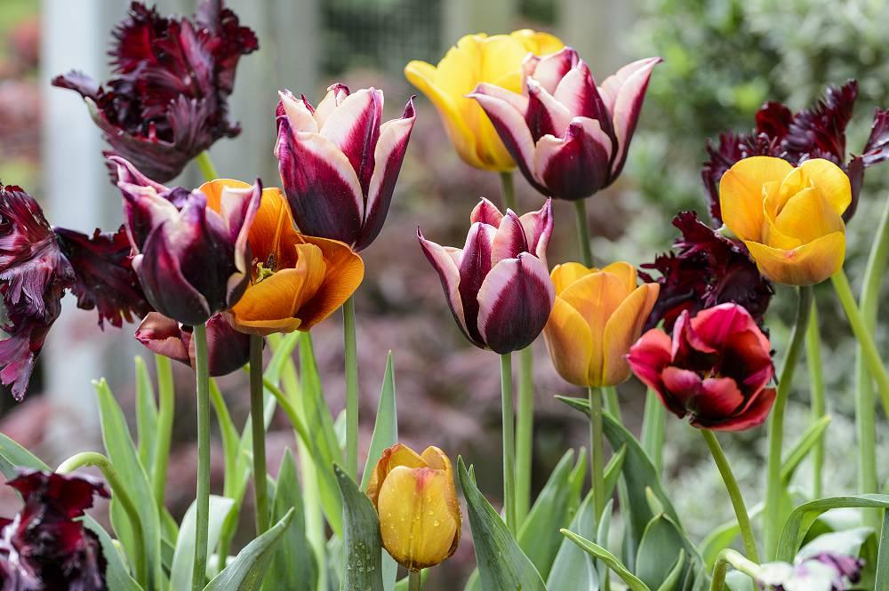 Tulpen planten in het najaar