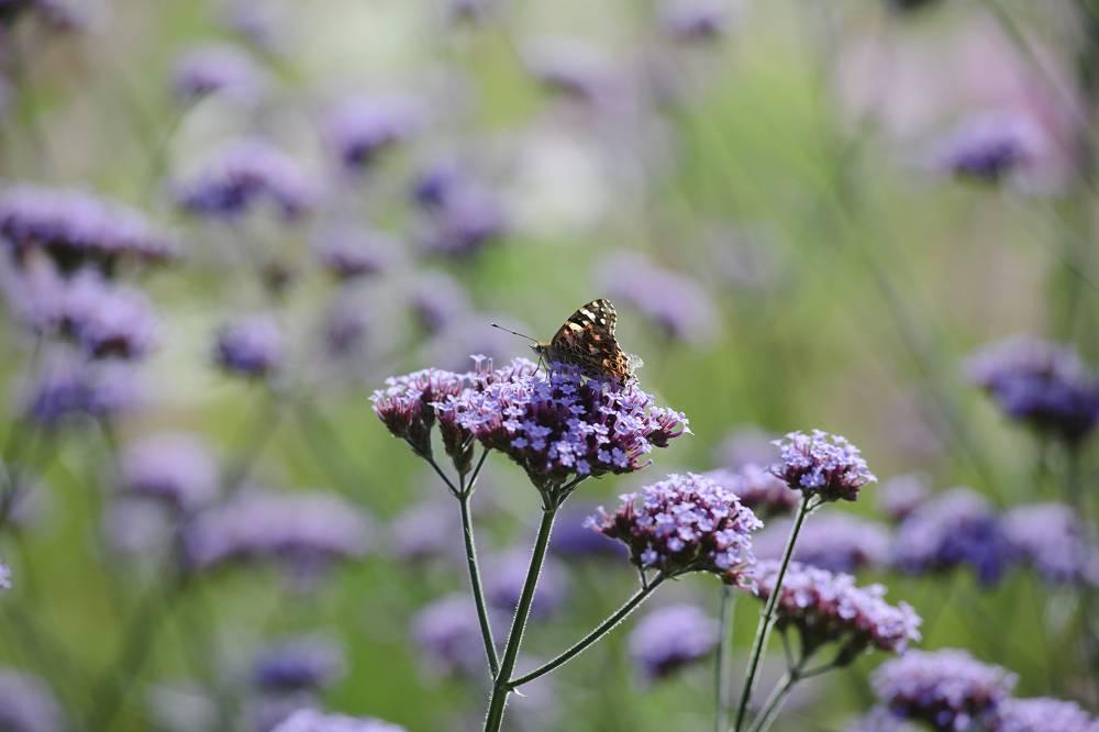 vlinderplant paars
