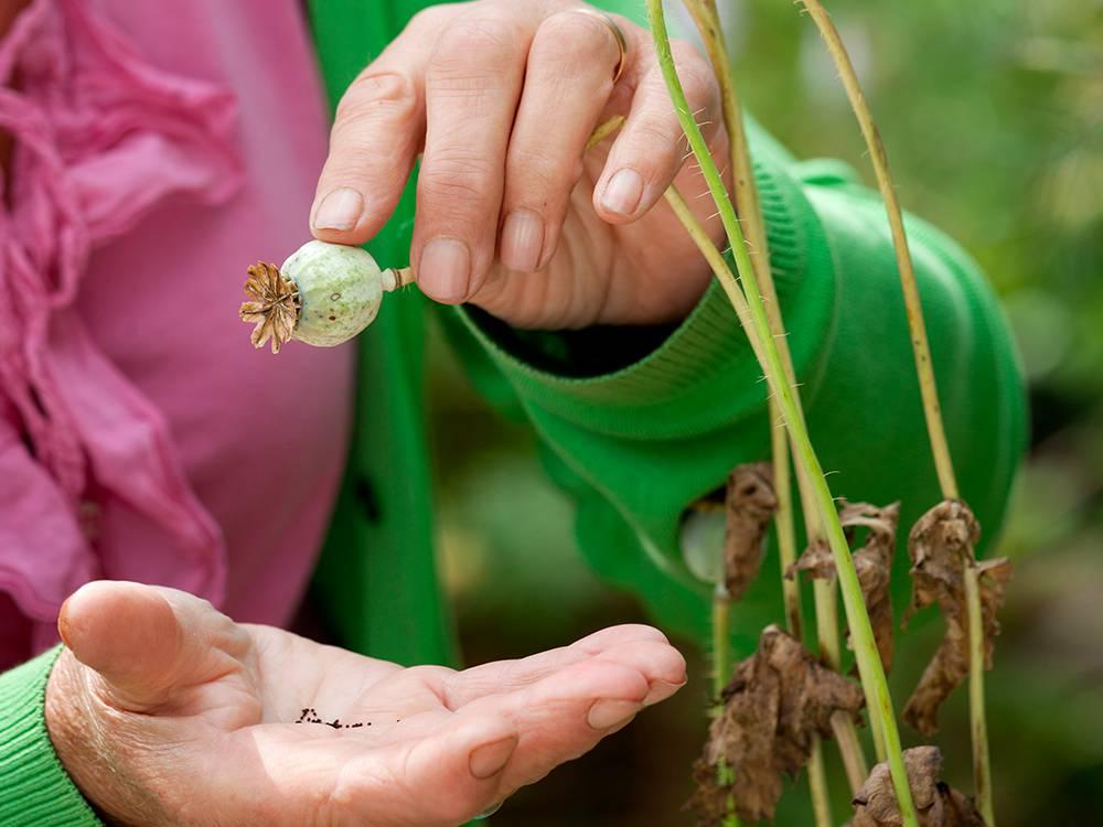 klaprozen zaden oogsten
