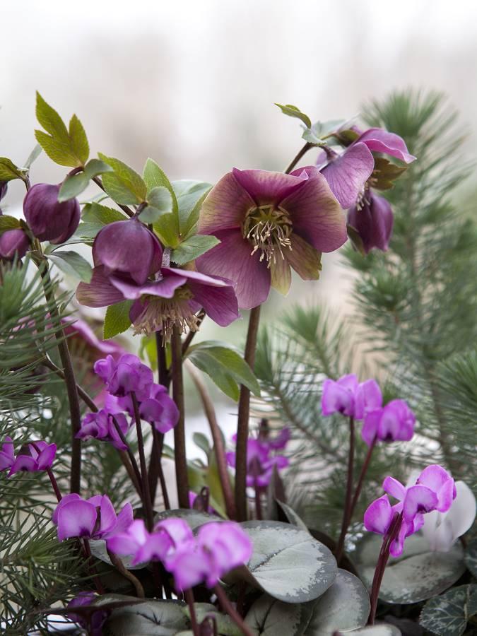 bloembollen voor schaduw