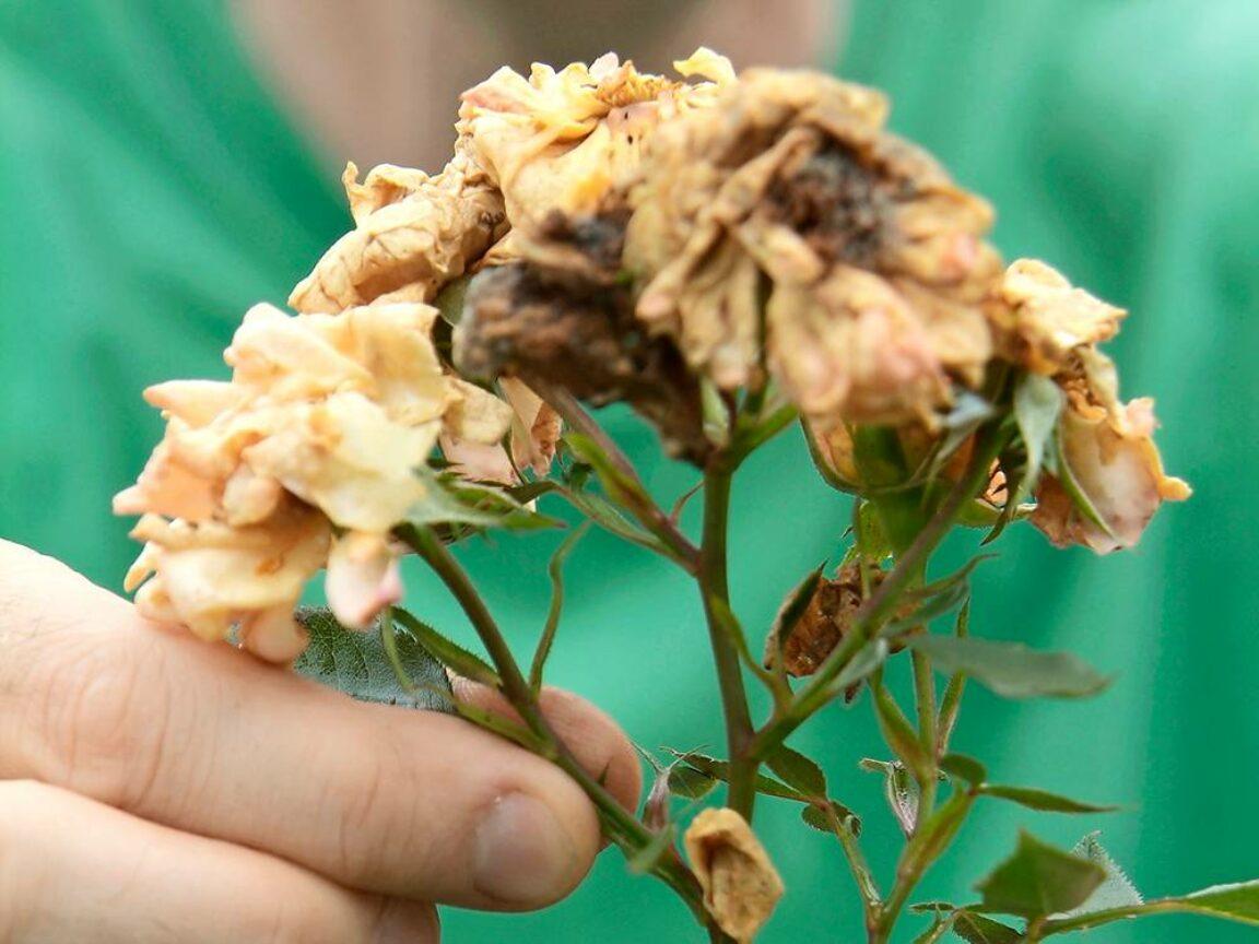 rozen verzorgen in de herfst