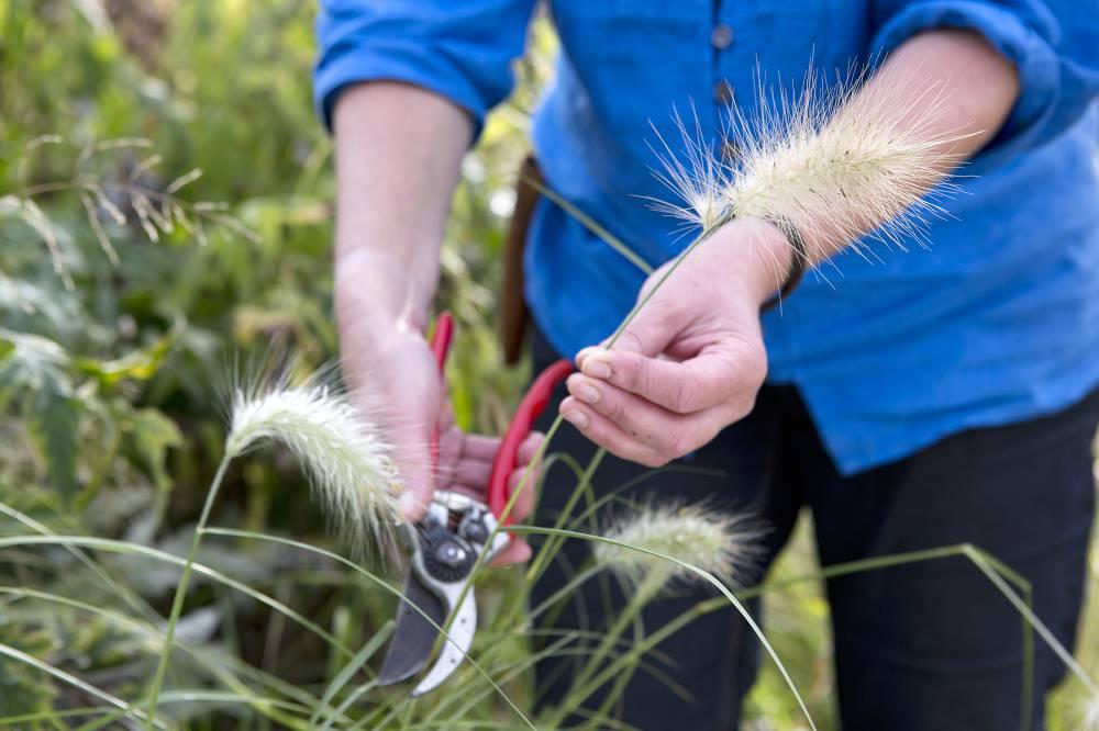 siergras zaden oogsten
